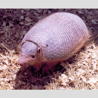 Argentina nativa: Cabasú chico (Cabassous chacoensis)