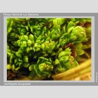 Saxifragella bicuspidata