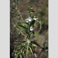 Lepechinia floribunda
