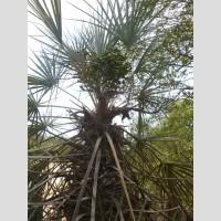 Trithrinax schizophylla