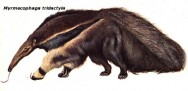 Oso Hormiguero (Giant Anteater).
